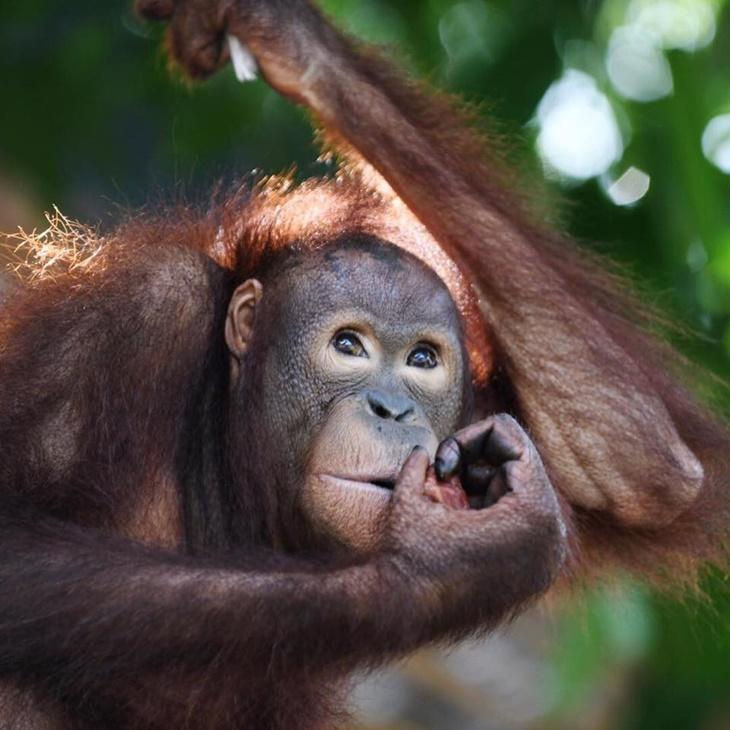 orangutan001.jpg