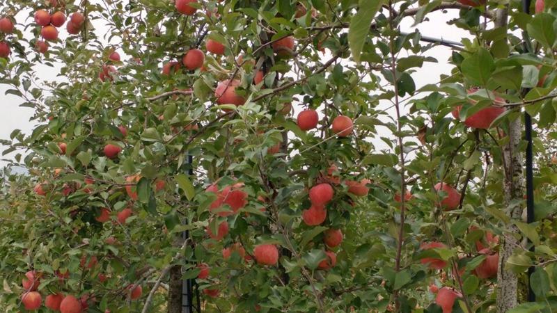 applespicking02.jpg
