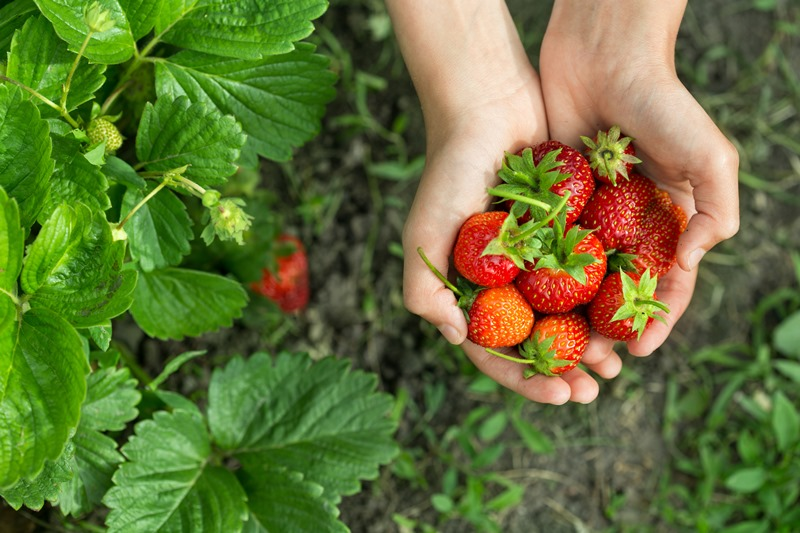 strawberrypicking01.jpg
